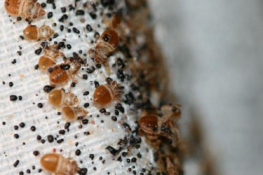 Bedbugs: The Most Horrible Creatures On Earth – The 13th Floor