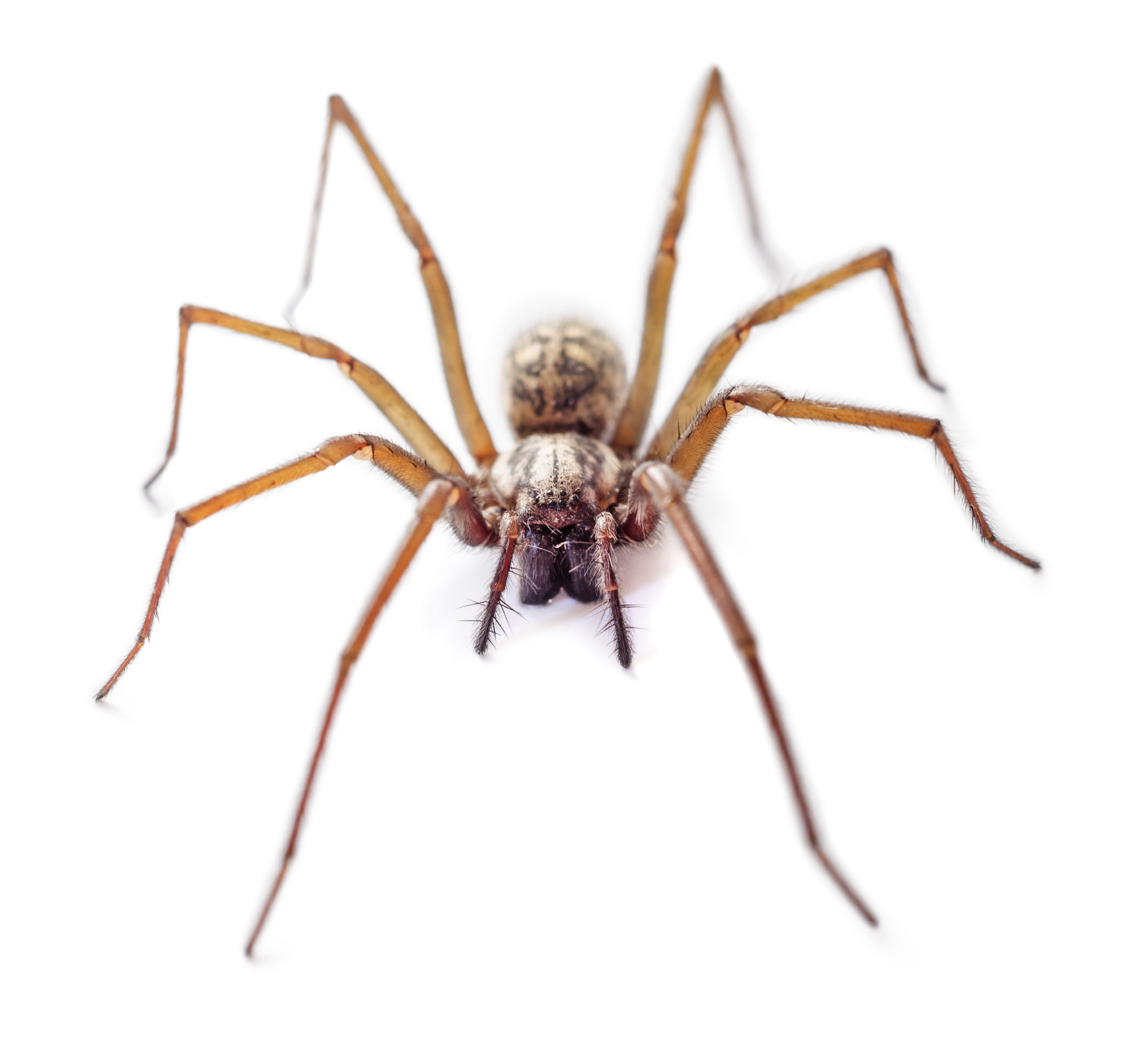Absolutely freaky urban legends about spiders the 13th floor for How to stop spiders coming in your house